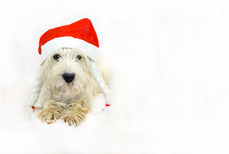dog west highland white terrier in a symbolic red cap with pigtails, celebration of the Christmas symbol of the new year on a white background