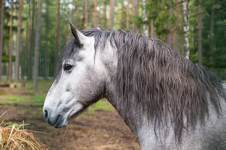 gray horse with long mane portrait of a thoroughbred animal looking at hay on a forest background Stock Photo
