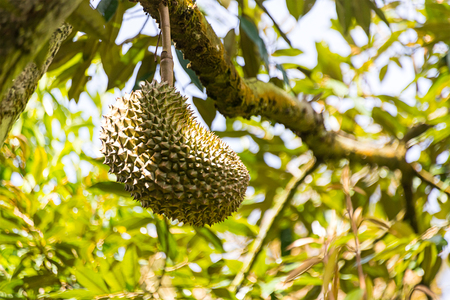 green spiked durian fruit growing hanging on a branch, strongly smelling fruit,  king of fruit  Thailand Imagens - 92071148