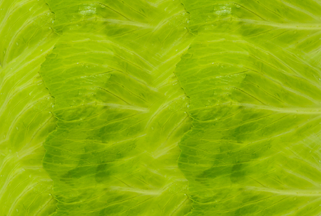 translucent green cabbage leaves with veins background juicy natural vegetable base