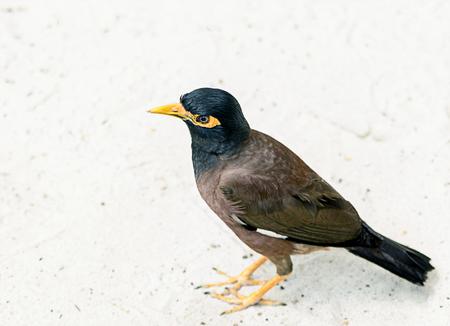 Exotic Thai bird myna ordinary, locust starling, talking bird mockingbird, standing on white fine sand Stock Photo