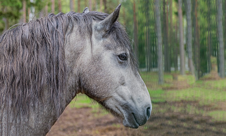 brooding gray horse close-up background blur forest sunny day, portrait of a purebred animal Stock Photo