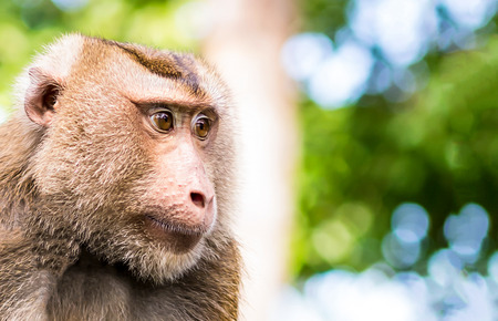 Macaque Crab-eating, Macaca fascicularis, portrait of wild monkey Thailand looking to the left on the right with copy spase on a blurred background of the jungle Imagens