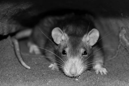 gray rat artful intelligent look accent on the head with long mustaches and shady eyes in gray tones sepia trimming of the trunk