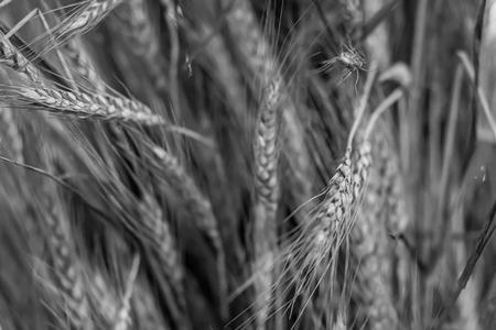 monochrome base substrate gray rustic design long ears pattern flora eco farm field crop production flour design