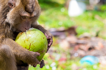 macaque long-tailed wild animal inhabitant of asia thailand taiwan crab-eating holds in the clutches of a large green coconut fruit