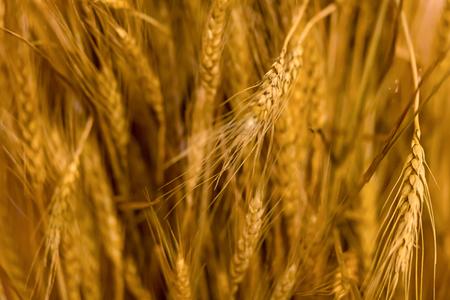 background farmer autumn harvest mature golden ears bright base grain design Banco de Imagens