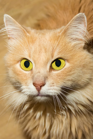 portrait of fluffy cute cats beige with big bright yellow eyes looking into the camera close-up