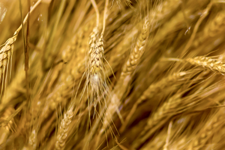 golden ear of wheat mature russia background rustic background light plant many plants pattern