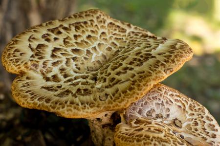 large mushrooms couple autumn design base flora sunlight base closeup decoration
