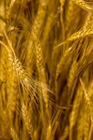 vertical background base golden long ears of wheat rustic pattern breadbread basis bread making flour