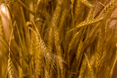 base long golden ears background vegetative rustic design cereal plants close-up mature grains base of bread flour