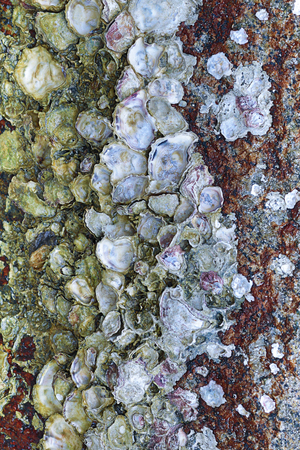 stone wall oyster shells marine life ebb tide rough surface weathered background base vertical
