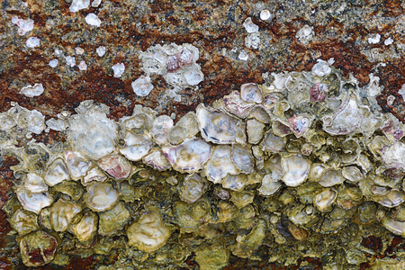 oyster shell on stone open matte mother-of-pearl surface marine design wild flora marine life background