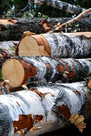 set birch trunks logging drying building material white black dash