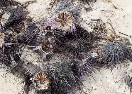 sea urchin dry open prey delicacy long needles dried on the beach against a background of shallow white sand