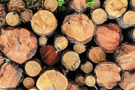 pattern pine logs pile, many trunks fresh sawn building material wall Foto de archivo