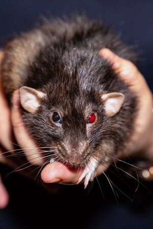 black rat whith bright red eye sitting hand and looking forward. beloved pet rat Reklamní fotografie