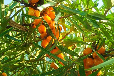 sea buckthorn orange berries a lot of green branch strong peculiar smell traditional medicine