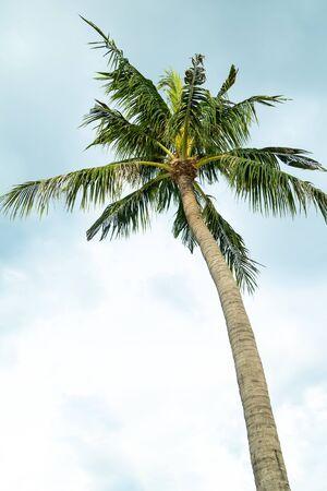 high coconut palm tropical plant asia Vietnam against the sky vertical photo