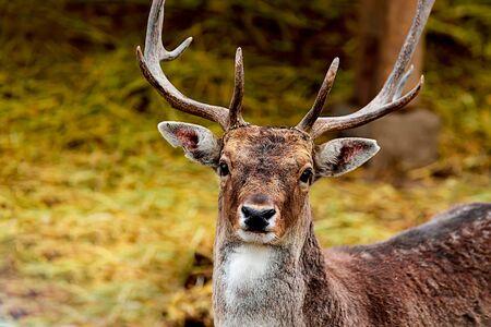 adult brown deer portrait with big horns, wild animal close-up