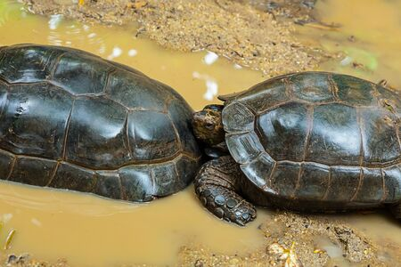 a pair of black turtles crawling along the yellow sand of the ocean 写真素材