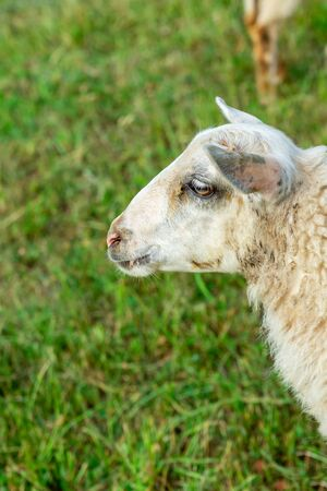 young sheep portrait on a background of green field close-up vertical photo