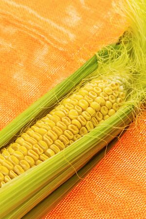 ripe yellow corn in green leaves, a large ear of corn on a bright background