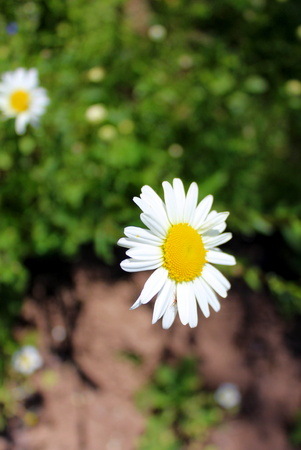 Inflorescence of leucanthemum in the garden on a grass background
