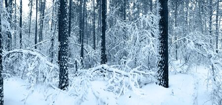 Snow trees in winter forest. Tinted picture photo