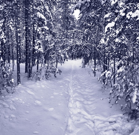 Snow path in winter forest. Tinted picture photo