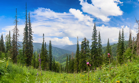 coniferous forest: Coniferous Forest in the Siberian Mountains