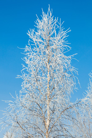 non urban scene: Frosted tree against the blue sky