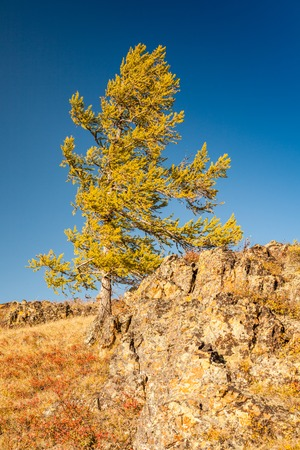 Fall in Mountains. Yellow Larch on Stones. Altai. Siberia. Stock Photo