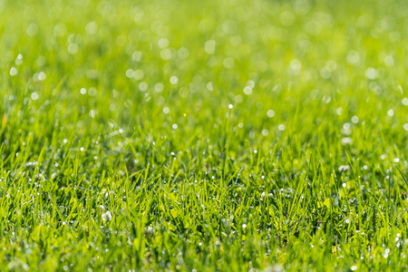 Grass Closeup with Moring Dew Drops in Sunlight, with Shallow Focus. Imagens