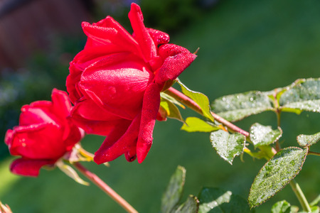 Beautiful Red Rose with Morning Dew Drops Stock Photo