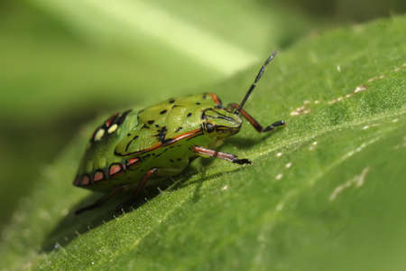 palomena prasina bug on leaf photo