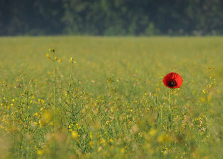 single poppy in a field Stock Photo