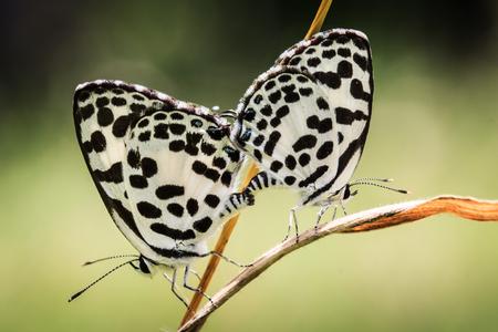 fleck: butterfly