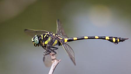 odonata: Ictinogomphus decoratus melaenops