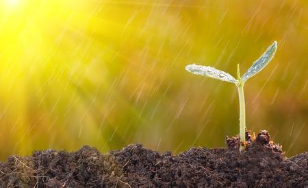 productividad: Las plántulas con luz de la mañana y la lluvia. Foto de archivo