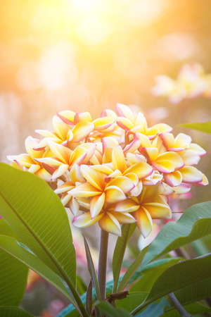 plumerias: Plumeria flowers with beautiful colors and light in the morning.