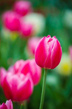 stock photo   tulip: Tulips Stock Photo