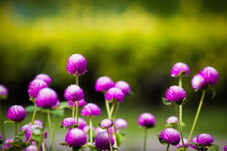 globosa: Gomphrena globosa color in the garden