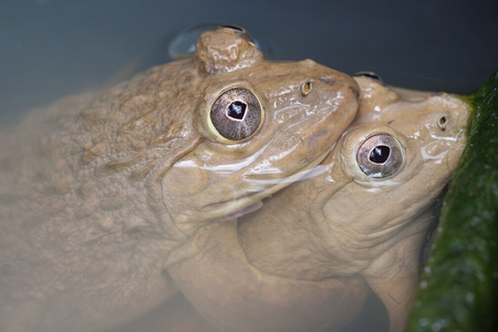 Two frogs were mating Stock Photo