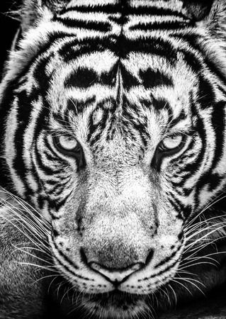 white: Tiger and his eyes fierce in the black and white style. Stock Photo
