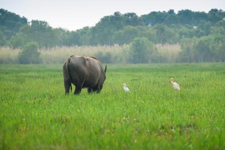 Buffalo that farmers raise naturally 스톡 콘텐츠