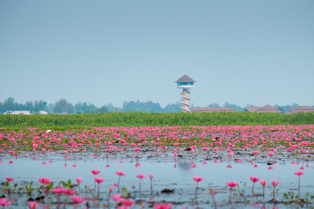 Red lotus pond in Phatthalung, Thailand 스톡 콘텐츠