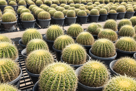 Cactus and cactus flowers