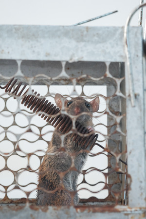 Rat caught in a steel cage